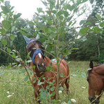 Unsere Pferde haben immer Zugang zu Bäumen und Sträuchen und nutzen diese sehr gerne als Futterquelle - gesunde Rohfaser ohne viel Zucker