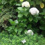 au fond du jardin, les hortensias et euphorbes bénéficient de l'ombre et la fraicheur