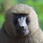 Monkey Tanzania