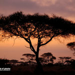 Baum Kenia