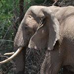 Elefant Tanzania