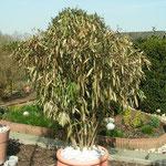 28.03.2012 Großer Oleander, starke Frost-Schäden