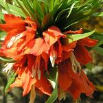 Kaiserkrone orange