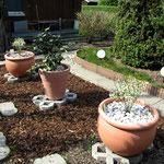 Neupflanzung Ginster (100cm) im Kübel