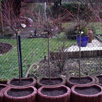 Salix im Betonkübel, Neupflanzung