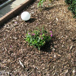 Phlox-Neupflanzung