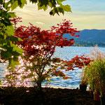 Japanischer Ahorn in Herbstfärbung