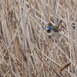 Blaukehlchen am Chiemsee