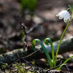 Frühlings - Knotenblume, Märzenbecher