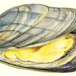 Muschel - Aquarellstift - 2010