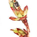 Blattknospe & Kongo-Rosenkäfer (Pachnada Marginata Peregrina), 2012, ca. 20 x 28 cm, Aquarellstift auf Fabriano Disegno
