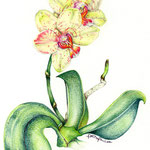 Phalaenopsis Hybrid, 2007, ca. 19 x 28 cm, Aquarellstift auf Canson for Drawings