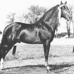 Morgan Horse Hengst Parade