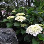 昨年ご利用者様からいただいた白いアジサイが見事に咲きだしました。