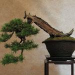 Primo piano del pino silvestre