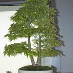 Acero giapponese (acer palmatum) di Claudio Castani