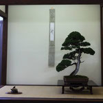 Bonsai Club Settelaghi Varese