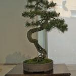 Pino silvestre (pinus sylvestris) di Franco Bergamini