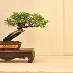 Prunus - Amici del Bonsai - Castellanza VA