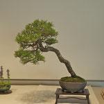 Pino nero giapponese (pinus thunbergii) di Adriano Nalon