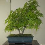 Acero giapponese (acer palmatum) di Cesare Cogliati
