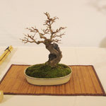 Acero tridente (Acer buergerianum) di Luciano Ambrosetti