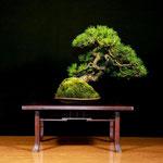 3° PREMIO - Pino mugo > Arte Bonsai Club Novara