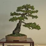 Picea (picea abies 'maxwelli') di Adriano Nalon