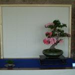 Azalea (rhododendron indicum) - Amici del Bonsai Castellanza