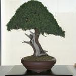 Ginepro cinese (juniperus chinensis) di Enrico Colli