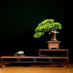 2° PREMIO - Tasso> Bonsai Do Groane