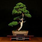 Juniperus chinensis - Franco Bergamini