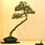 Bonsai Club Satsuki - Gallarate VA