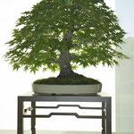 Acero giapponese v. corticosa (acer palmatum) di Carlo Riva