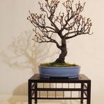 Prunus Mume (Albicocco giapponese) di Carlo Riva
