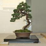Ginepro cinese (juniperus chinensis) di Mauro Carsenzola