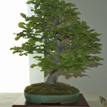 Carpino nero (ostrya carpinifolia) di Carlo Riva