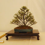 Chaenomeles japonica (chojubai) di Dario Poretti