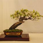 Prunus di Carlo Crespi