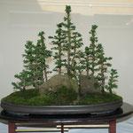 Boschetto di cryptomerie (crypotomeria japonica) di Franco Bergamini