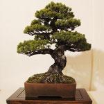 Pino bianco giapponese (Pino pentaphilla) di Beppe Giovanelli