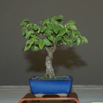 Carpino nero (ostrya carpinifolia) di Carlo Crespi