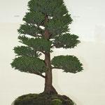 Cipresso del Giappone (cryptomeria japonica) di Mauro Scomparcini