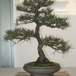 Pino silvestre (pinus sylvestris) di Claudio Castani