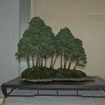 Boschetto di ginepri (juniperus chinensis) di Giovanni Cattaneo