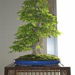 Carpino coreano (carpinus coreana) di Mauro Carsenzola