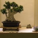 Ficus Retusa di Giuseppe Giovanelli