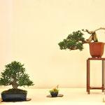 Gardenia jasminoide - Amici del Bonsai - Castellanza VA