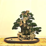 Bonsai Club Somma - Somma Lombardo VA