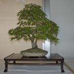 Acero giapponese (acer palmatum) di Enrico Colli